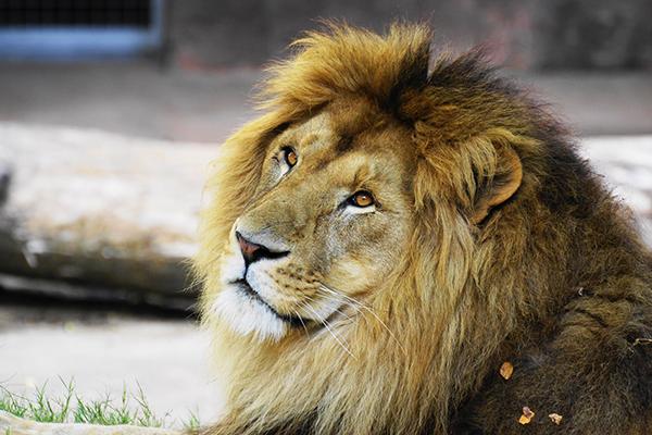 ライオンのガオウには、肉の鏡餅