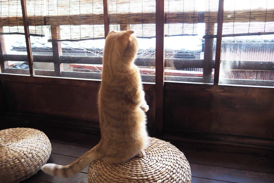 直立姿が拡散中、京都の猫カフェ