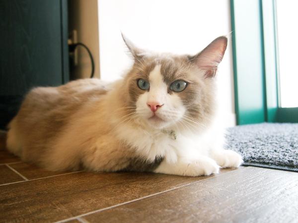 司書猫シュレちゃんはもっふもふのラグドール、日によってはロシアンブルーのヴィトも出勤