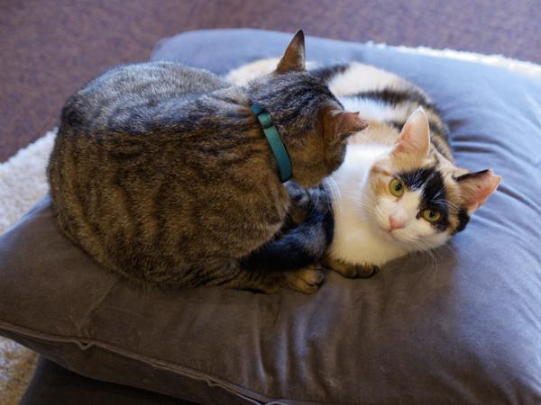 耳がV字カットされているのは、保護され、病気のケアや避妊去勢の手術が済んだというしるしで「さくらねこ」と呼ばれています(麻酔をかけるので猫には痛みはないそう、ご安心を!)
