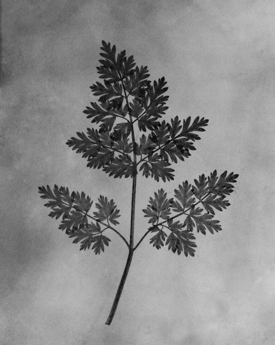 ヘンリー・F・トルボット『自然の鉛筆』|図版Ⅶ 植物の葉 Monmouth Calotype 1989 Edithion