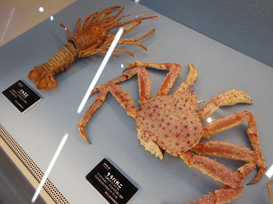 リアルな姿に本物と見間違えるが、これも殻のみ(展示協力:面河山岳博物館、姫路市立水族館)