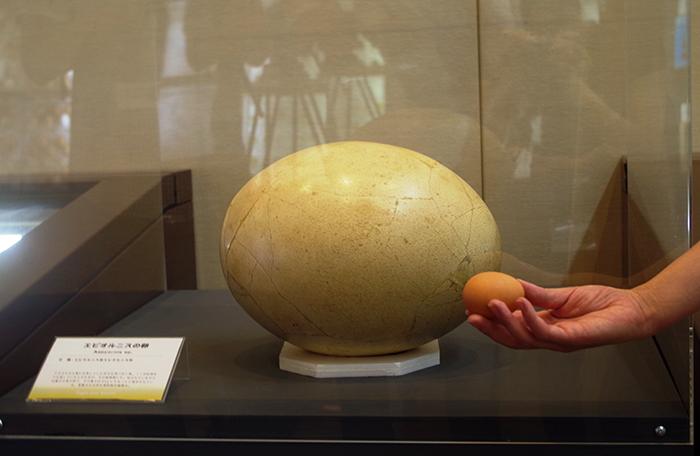 エピオルニスのタマゴは、倉敷市立自然博物館からのレンタル