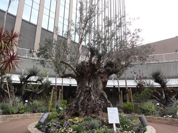 シンボルツリーである樹齢約500年のオリーブの木は圧倒されるほどの存在感