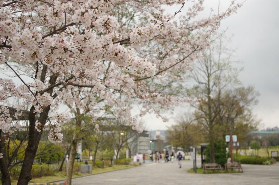 京都・梅小路公園も桜は見頃
