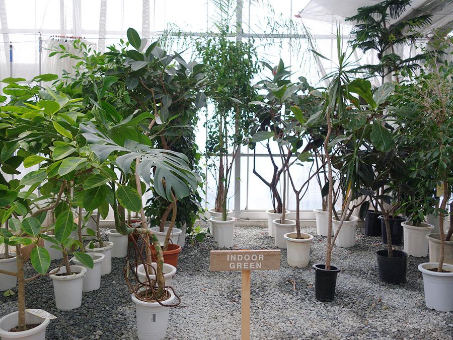 インドアグリーンは、特に面白い枝ぶりのものや背の高いものがそろう。種類も数も多いけれど、商品の入れ替わりも早いので、お気に入りは即買いが鉄則