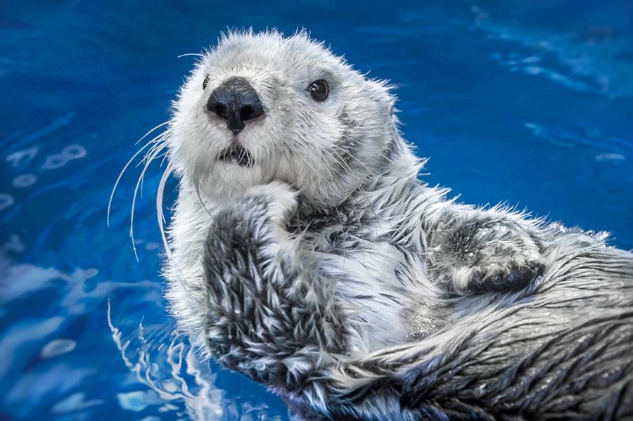 6月28日に20歳の誕生日を迎える「海遊館」生まれのラッコ・パタ