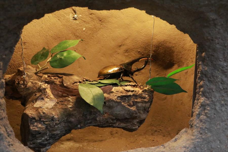 ヘラクレスオオカブトやコーカサスオオカブト、アルキデスオオヒラタなどの日本には生息していないレアな昆虫が展示されているコーナーも