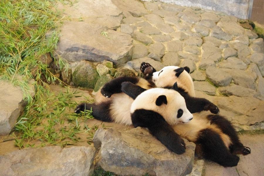ジャイアントパンダの飼育数が国内最多とあって、パンダのイメージが強いアドベンチャーワールド