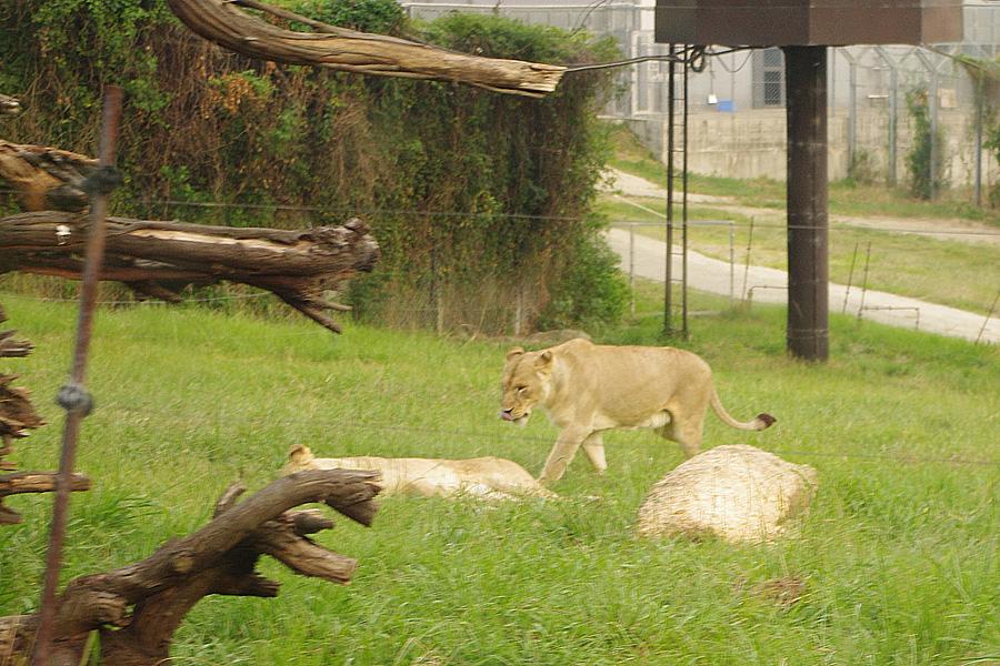 ライオンやチーター、ホワイトタイガーら肉食動物が自由に歩くサファリ