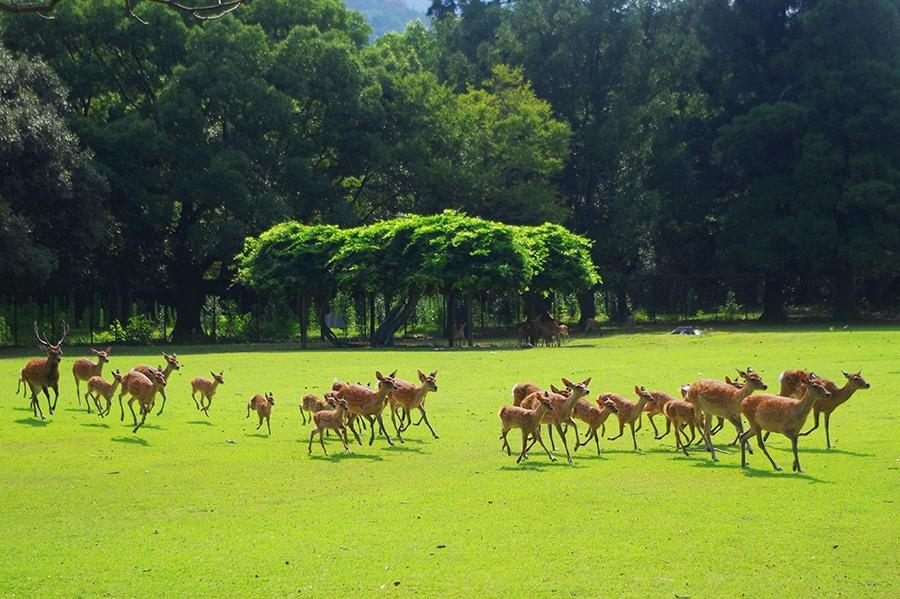 「春日大社本殿」の森の奥から勢いよく走ってきた鹿の集団
