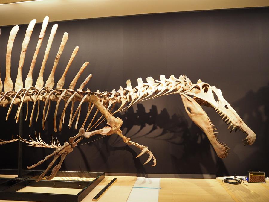 160cmの巨大な頭が取り付けられたスピノサウルス。これまで発掘されたなかでも最大級というティラノサウルスの12mをも圧倒する肉食動物最大の15m