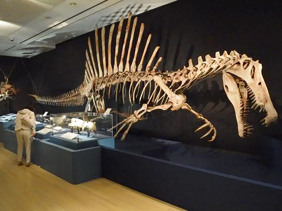 これまで謎の恐竜と呼ばれ、今回日本初公開となるスピノサウルスの復元骨格