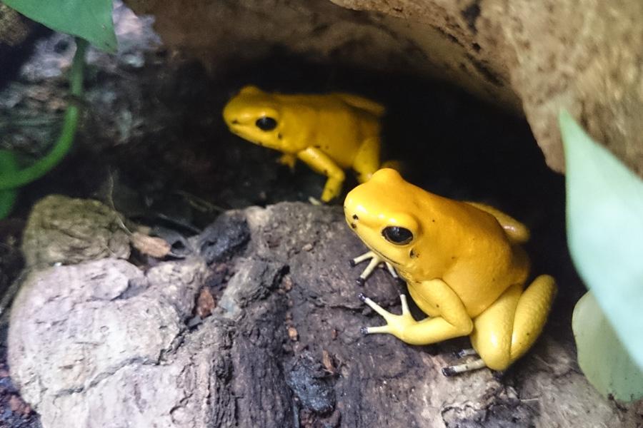 もうどく展シリーズで初展示のモウドクフキヤガエル。コロンビア南西部に生息し、名前の通り強力な毒素は毒矢にも使われる