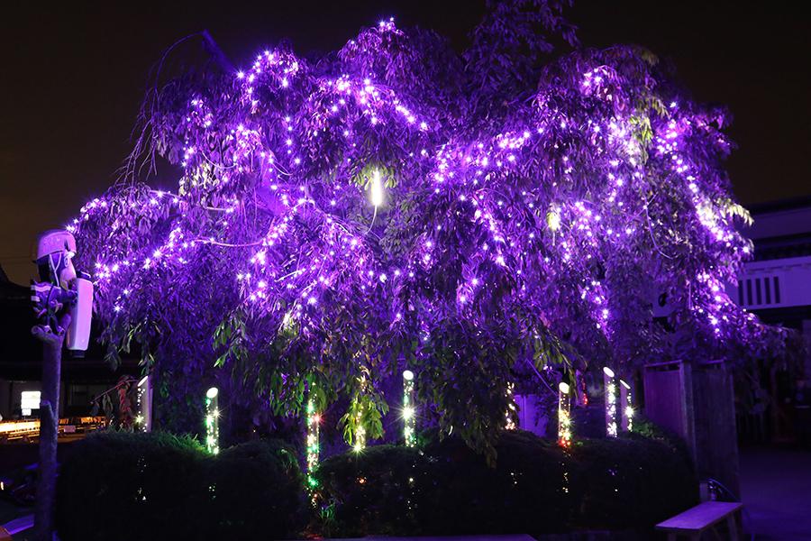 幻想的にライトアップされた枝垂れ桜(写真はイメージ、東映太秦映画村)