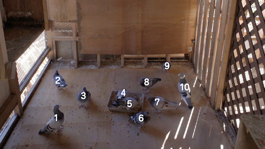 ハトを数える図。もはや実験かどうかもあやしい・・・(2日放送、NHK Eテレ『大人のピタゴラスイッチ』より)