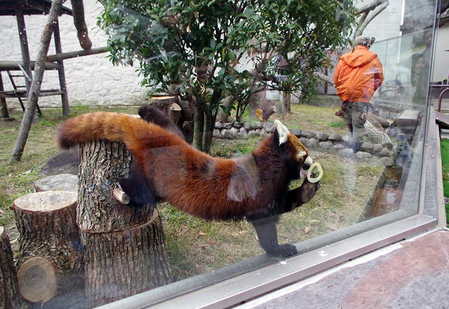 ハート形のリンゴをプレゼントされ、うれしそうにほおばるレッサーパンダ(大阪・天王寺動物園)