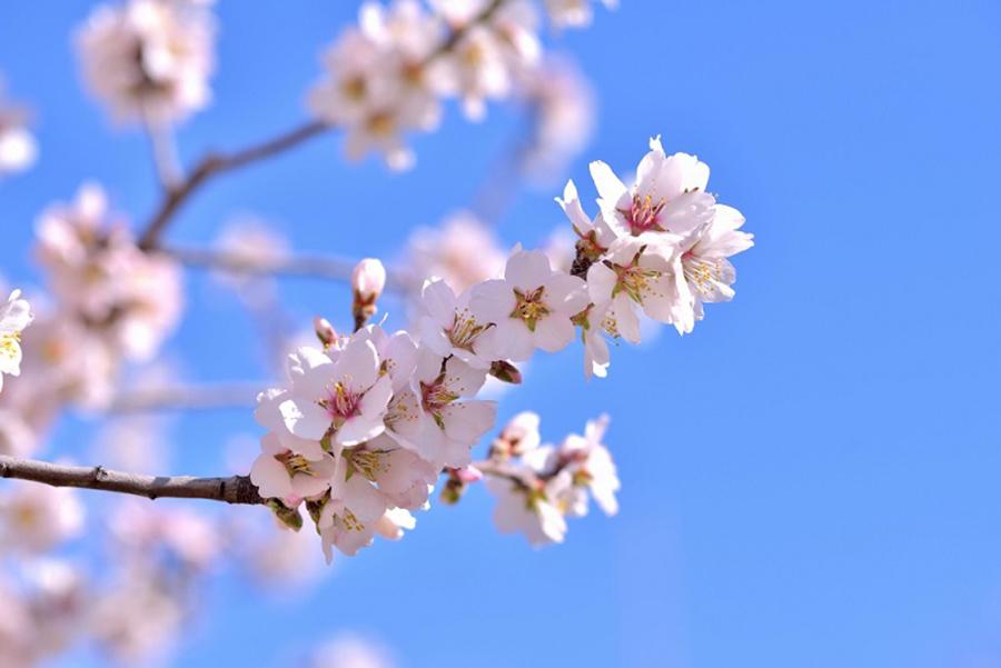 桜にそっくりの美しい花を咲かせるアーモンド
