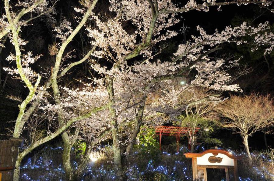 昨年度までの園内の桜ならびにライトアップの模様