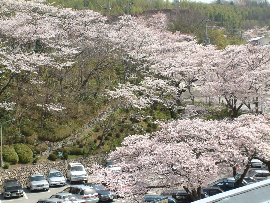 この季節、「太閤四季彩園」など「太閤の湯」周辺は桜色に染まる