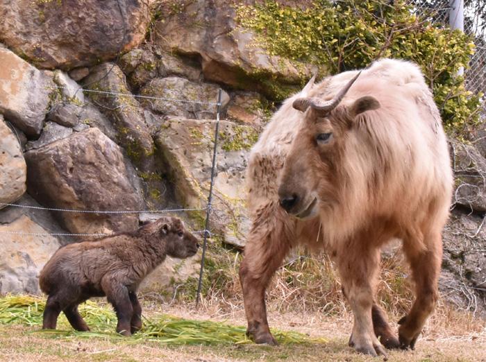 「アドベンチャーワールド」に誕生した中国三大珍獣・ゴールデンターキンの赤ちゃん