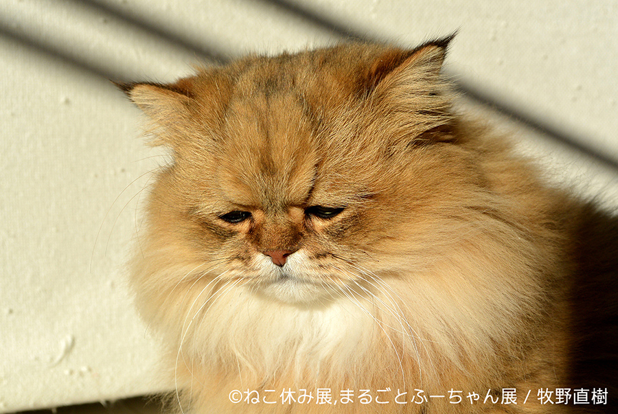 飼い主・牧野直樹さんが2013年に保護したねこ「ふーちゃん」、ツイッターで写真を公開するやフォロワー9万人超の人気者に
