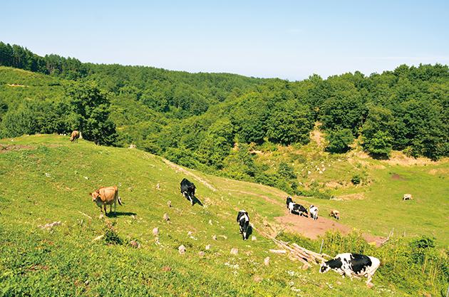 山間の起伏を生かした広大な牧場。牛たちはこの季節、新緑の若葉がたっぷりと食べられる