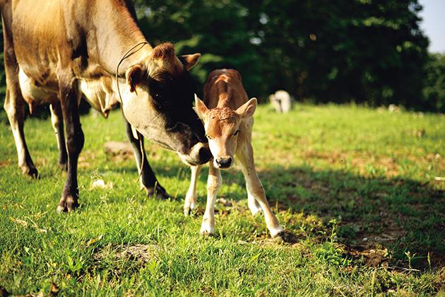 牛の親子ものびのび育つ