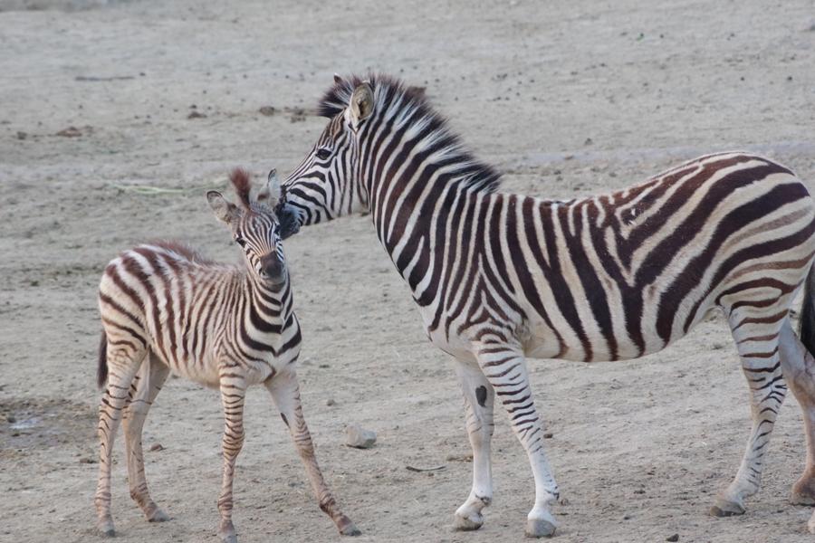 今年2月24日に生まれたオスのチャップマンシマウマ。生まれたときの体長は1.2mほどだった(4月30日、アドベンチャーワールド)