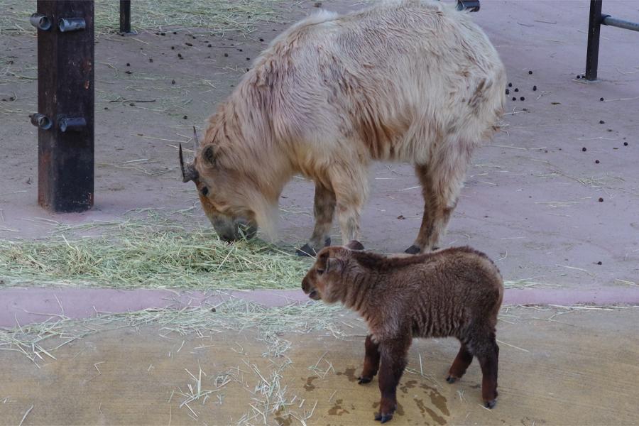 生まれたときの体長は約40cmだったゴールデンターキンの赤ちゃん。凹んだ水飲み場へおそるおそる下りていく様子も(4月30日、アドベンチャーワールド)