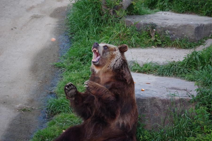 陽が暮れてから食事を取るヒグマ。雑食だが肉は口にせず、スタッフが投げるミカンをキャッチする(4月30日、アドベンチャーワールド)