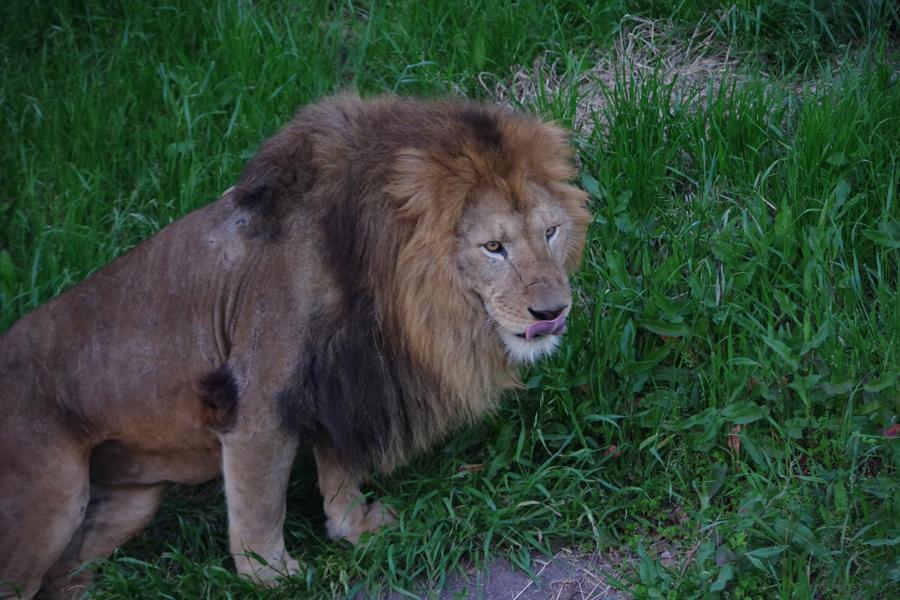 ライオンやパンダをはじめとする動物、イルカなどの海洋生物とも触れあえるアドベンチャーワールド(4月30日、アドベンチャーワールド)