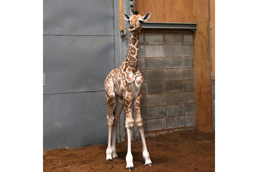 赤ちゃんの体長は推定170cm、成長とともに屋外公開される(和歌山・アドベンチャーワールド)