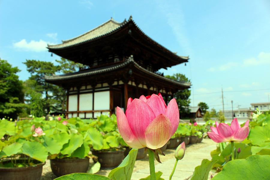 喜光寺の蓮と御本堂