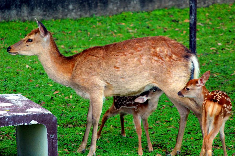 お乳を飲む子鹿。母鹿は1日3回程度お乳を与える