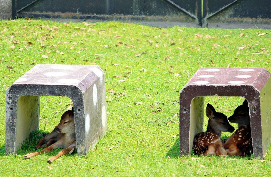サイコロの様なブロック内で休む、子鹿(生後1〜2週間の子鹿)