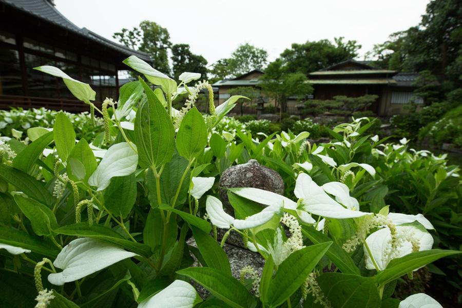 両足院で初夏に美しく広がる半夏生の庭園 画像提供:両足院