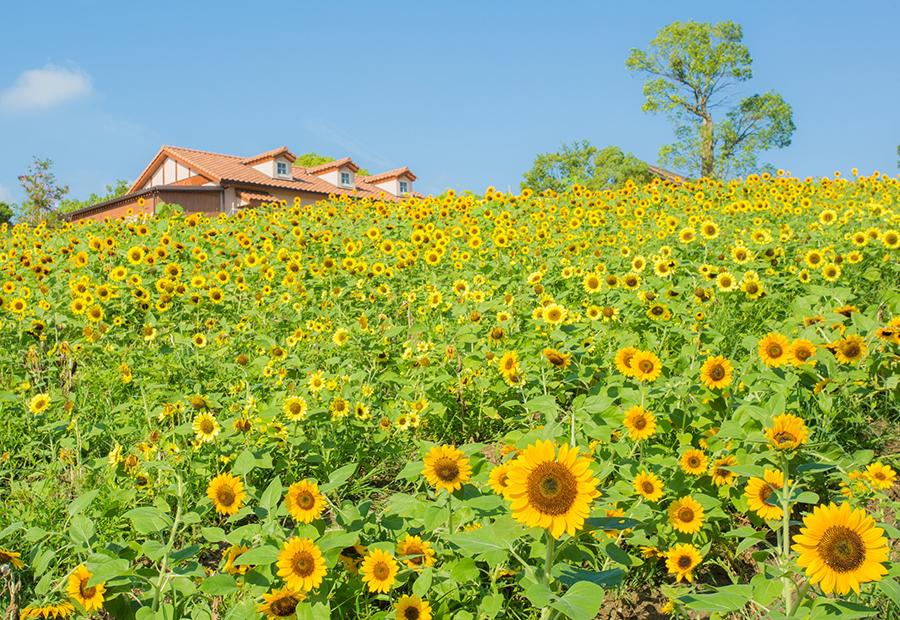 3000平方メートルの敷地に咲き誇る約6万本のひまわり(ハーベストの丘)