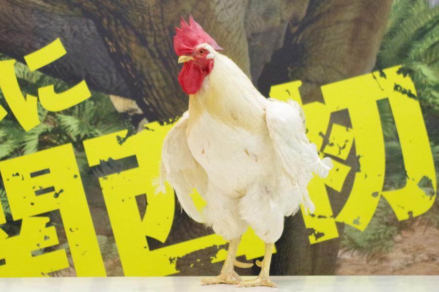 奇跡のニワトリ、幸運のニワトリとよばれてひっぱりだこのマサヒロくん(25日、大阪南港ATCホール)