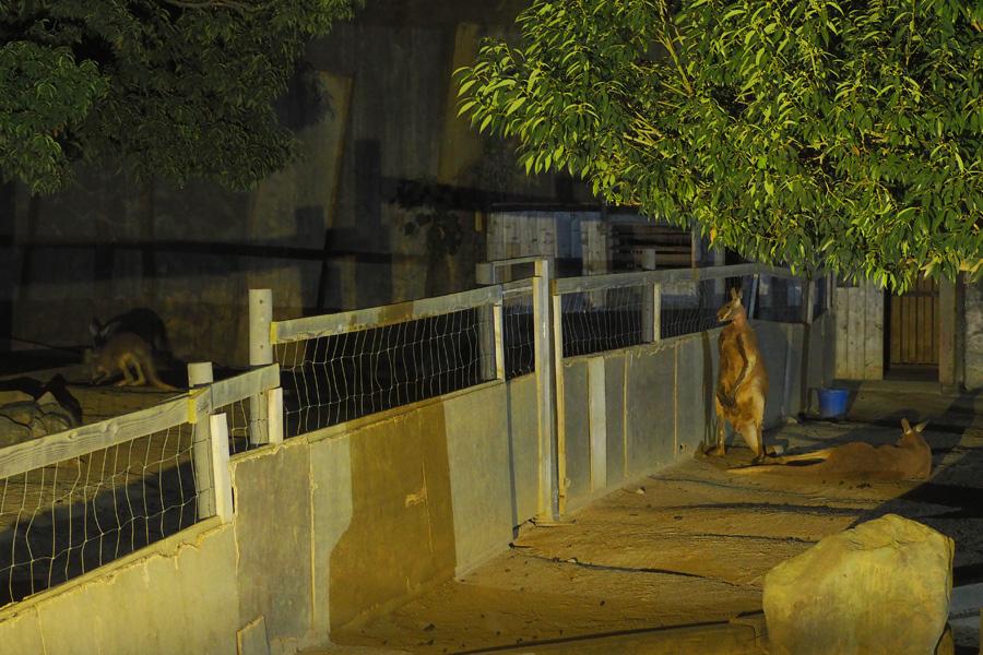 ぴょんぴょん移動して隣の雌カンガルーを偵察する雄カンガルー