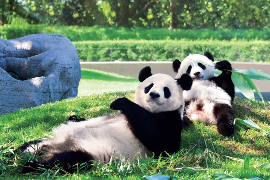 パンダの赤ちゃん「結浜」とお母さんパンダ「良浜」