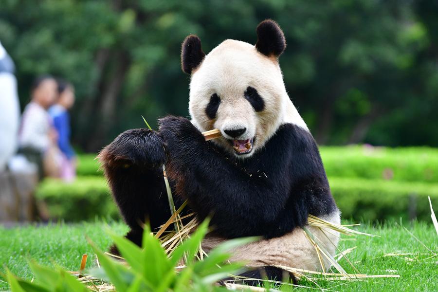 お父さんパンダ「永明」