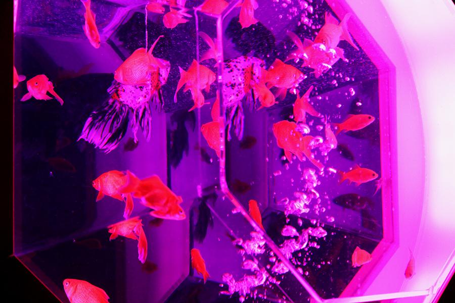 見慣れない金魚も多く、個性的な姿がかわいらしい(25日・京都市内)