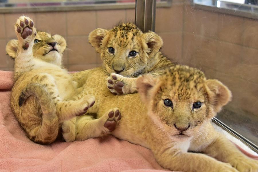 仲良く過ごすライオンの3兄弟