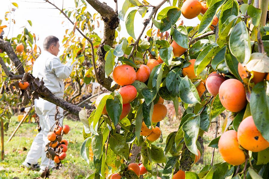 柿の木1本から5〜20㎏の柿が獲れるそう。今年は量が少ないかわりに大きな実をつけた(5日・御所市)