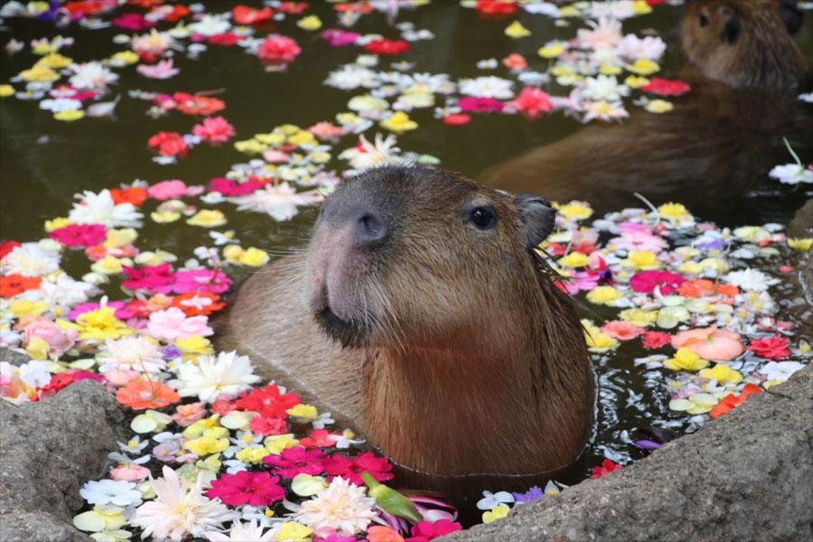 花びらが浮かんだ湯船でくつろぐカピバラ