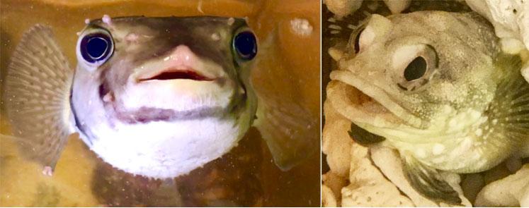 (左から)大きな目とパタパタとひれを動かす姿がかわいらしいフグの仲間「イシガキフグ」、砕けた珊瑚や砂底に巣穴を作って生活する海水魚「スポットフィンジョーフィッシュ」