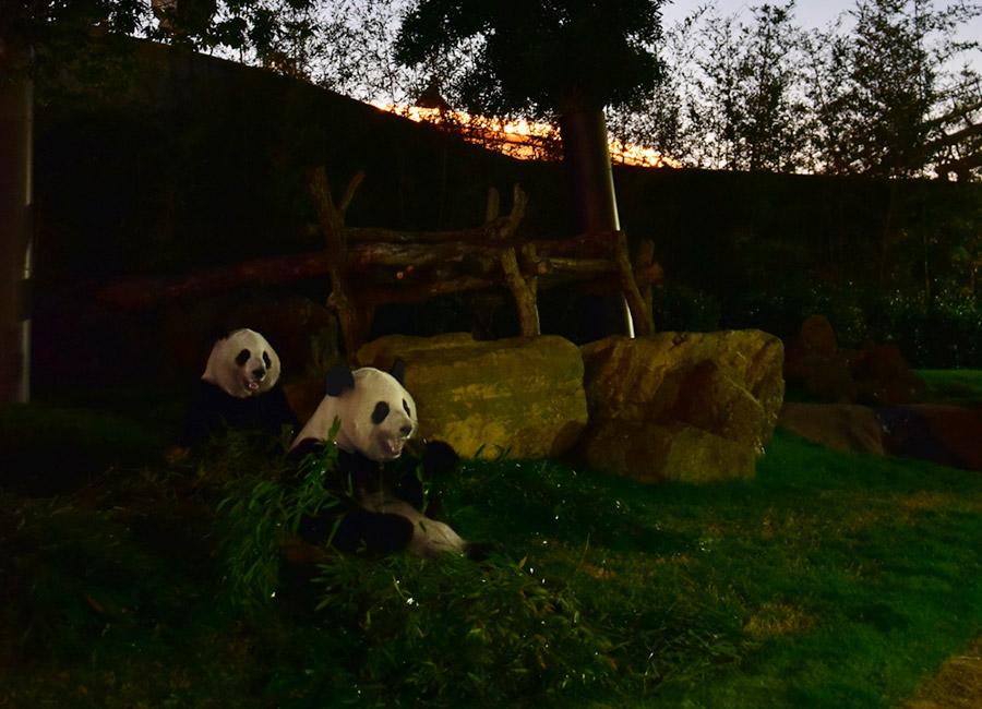夜の暮らしが特別公開される「アドベンチャーワールド」のジャイアントパンダ
