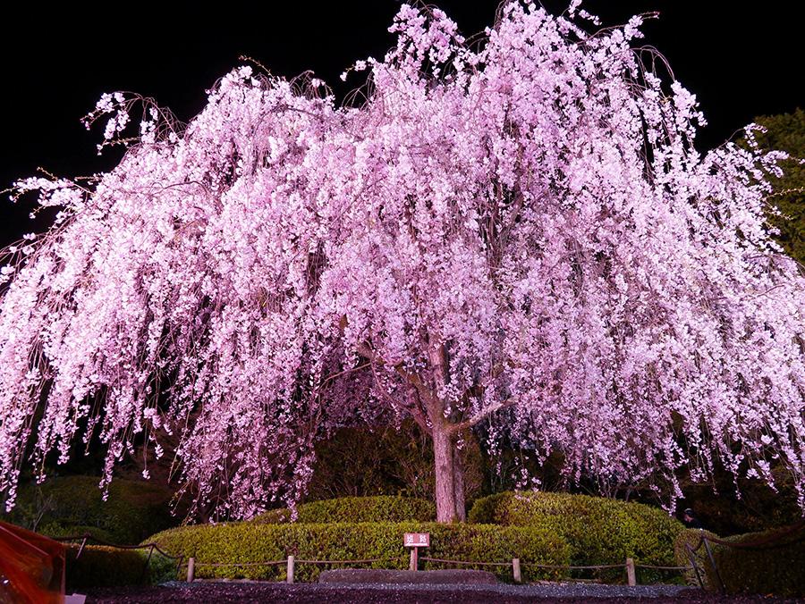ライトアップされた樹齢60年余のしだれ桜