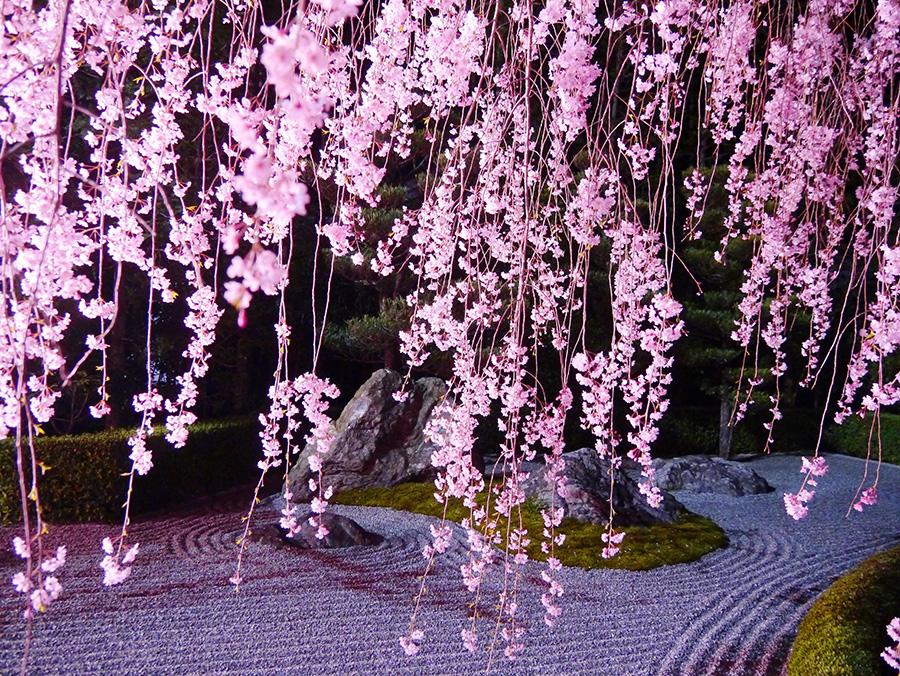 夜はライトアップされる、枯山水庭園としだれ桜